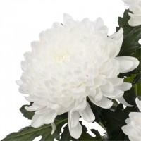 Продаю саженцы (черенки) хризантемы с Нидерландов