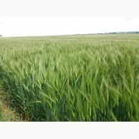 Продам насіння шестирядного озимого ячменю ЛУРАН