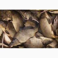 Рыба морская, форель Г. Киев 40 грн за кг