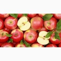 Заключим договор на поставку яблок оптом