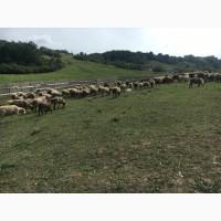 Продам овцы романовская порода 71 голов