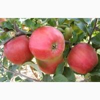 Продам саджанці яблуні