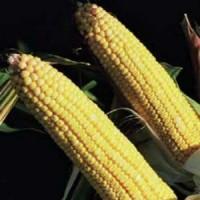 Семена кукурузы Тиадор