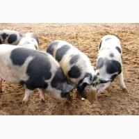 Продам свині жива вага петрени