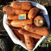 Продам крупную морковь