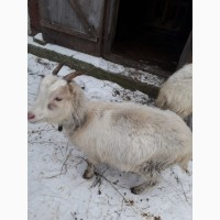 Продам 2 кози