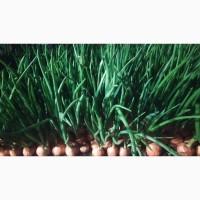 Зелена цибуля перо