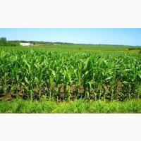 Кукуруза, закупаем зерновые по всей Украине
