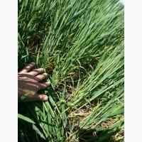 Продам Насіння озимої пшениці Мескаль, Лімагрейн