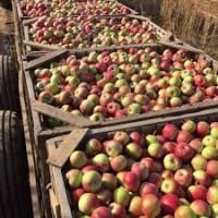Продам шкільне яблоко оптом, купити яблоко бюджетне оптом від 10 тонн