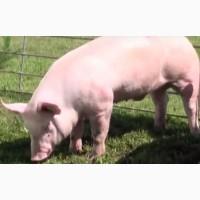 Продаем свиней партиями от 30 гол весом от 110 кг выше на постоянной основе