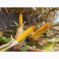 Насіння кукурудзи Даніель ФАО 280
