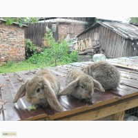 Продам крольчат французский баран