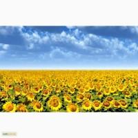 Семена кукурузы, гибриды кукурузы, подсолнечник, СЗР