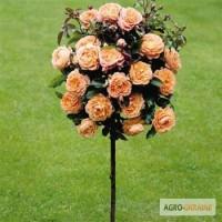 Троянди штамбові саджанці