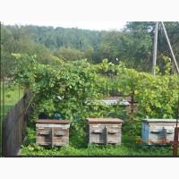 Бджолиний забрус