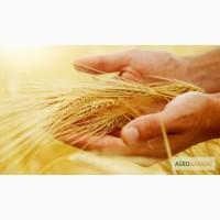 Закупаем дорого пшеницу 2, 3, 5, 6 кл