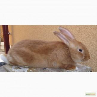 Кролики Бургунцы слученные самки