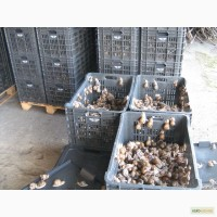 Заготівля равликів (слимаків)