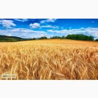 Закупка Пшеницы.Крупный Опт