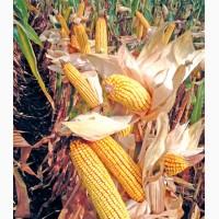Гібрид кукурудзи ДА Сонка (Dow Seeds)