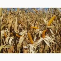 Продам семена кукурузы ДН Вита