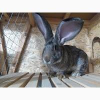 Продам племенных кроликов самой крупной породы - Бельгийский Ризен (Фландр)