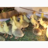 Продам суточных гусят Легарт(яйцо)