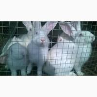 Продам кроликов Белый Паннон живым весом