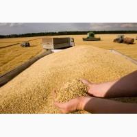 Продам зерно пшеницы с хозяйства 2-й класс и фураж