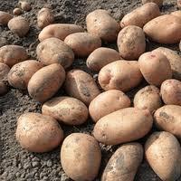 Картопля на Продаж