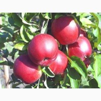 Продаю оптом яблоки собственного производства