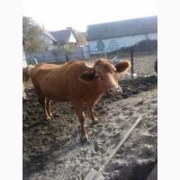 Продам корови телята різного віку