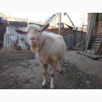 Продам племенного козла