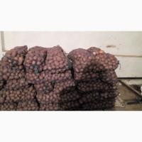 Продам товарный картофель, сорт Мелоди, Коннект