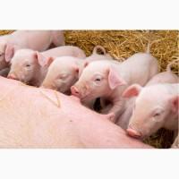 Білково-мінерально вітамінна добавка Feedline 25% старт для свиней м. Львів