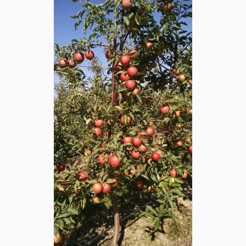 Продам яблука з холодильника, Львовская обл.