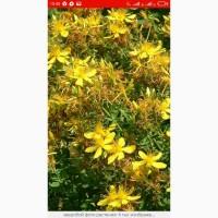 Купим у заготовителей траву чебреца, лист и корень кульбабы, лист с цветом боярышника