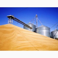 Куплю оптом пшеницу, ячмень, кукурузу, гречку, семечку, форма оплаты любая