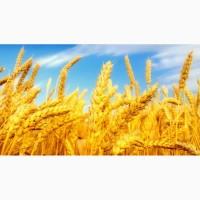 Покупаем фуражную пшеницу в больших количествах