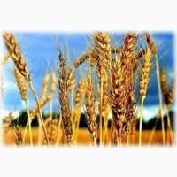 Семена ржи (жито) озимой Хамарка элита