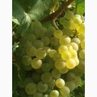 Продам виноград технических (винный) сортов Шардоне, Саперави северный, Совиньон