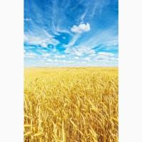 Закупаю на постоянной основе пшеницу