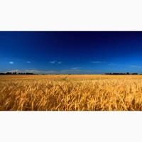 Куплю пшеницу за наличные