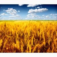 Куплю кукурудзу ДОРОГО (1 Форма) - Класну та НЕКЛАСНУ, Від 23-х ТОНН!Самовиві