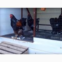 ЯЙЦО куриное инкубационное, Брама, (Мраморная, Темная, Парцеляновая)