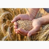 Закупляємо пшеницю