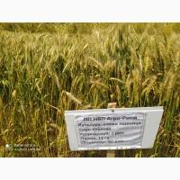 Озимая пшеница Сталева, семена (элита ) урожай 2021 г