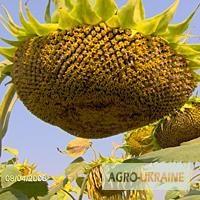 Насіння соняшника Рембо під гран стар