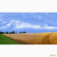Закупаю Пшеницу 2-6 класс